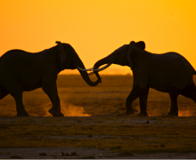 Elephants in Amboseli National Park, Kenya. Elephants, born weighing approximately 200 pounds, can grow to be 5,000 to 14,000 pounds.  Photo by John Heminway for National Geographic Studios