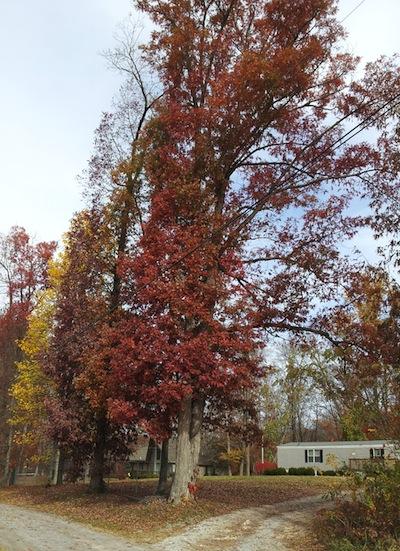 TN trees