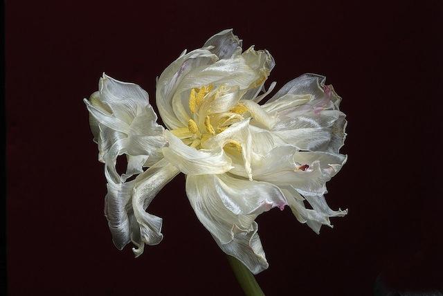 Russell Carpenter flower