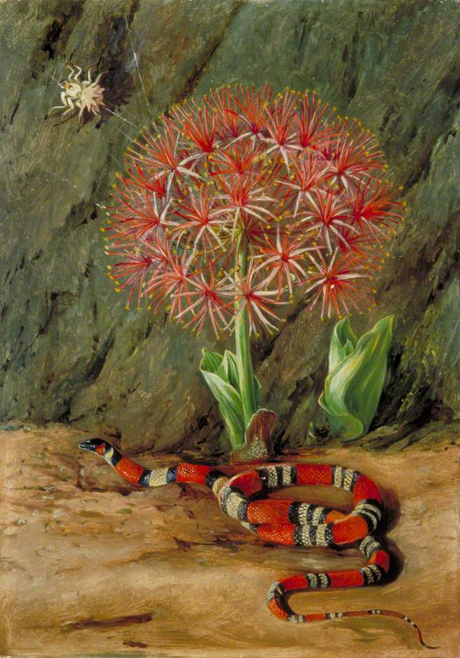 Flor Imperiale,Coral Snake, and Spider, Brazil, by Marianne North (1873), Courtesy of Wikipaintings