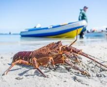 west-coast-rock-lobster-season-53-1416163751