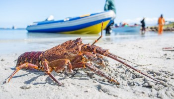 west-coast-rock-lobster-season-53-1416163751