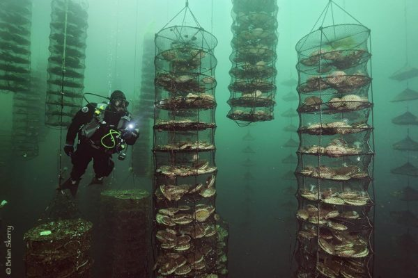 A diver inspects scallops being raised at an aquaculture company off Vancouver Island, Canada. This company, called SEAfarm uses a method called Integrated Multi-Trophic Aquaculture in which several different species are raised, each one used with the others to keep the ecosystem clean and healthy. © Brian Skerry