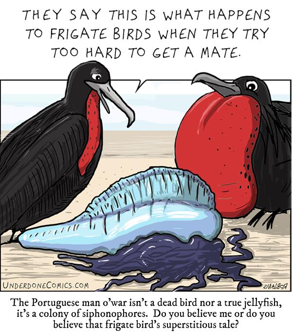 Underdone Comics: Man o'war and Frigate Bird