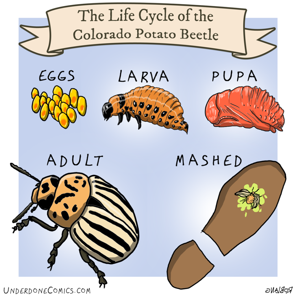 UNDERDONE the lifecycle of the potato beetle