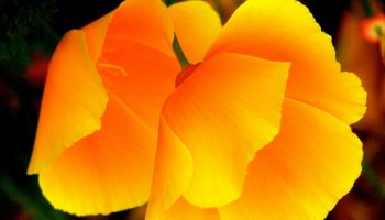 California Poppy, by Alexis Rhone Fancher