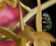 Euglossa sp, male orchid bee collecting scent from a Mormodes orchid.