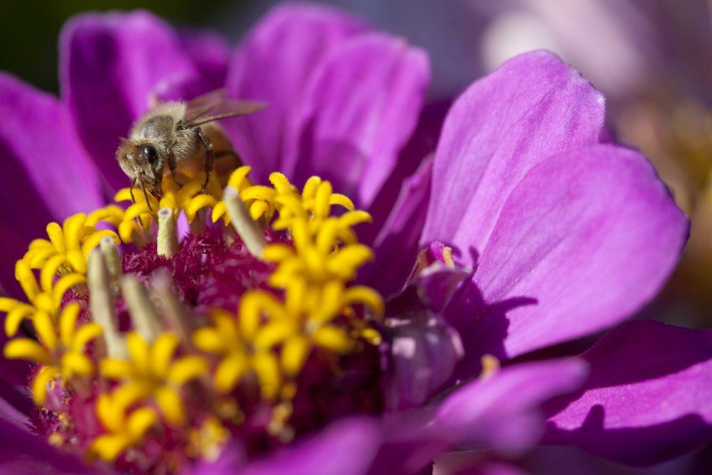 Honey bee worker nectaring on Zinnia.